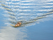 Waterveldmuis Royalty-vrije Stock Foto's