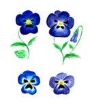 Waterverf blauwe die viooltjes op witte achtergrond worden geïsoleerd Stock Afbeelding
