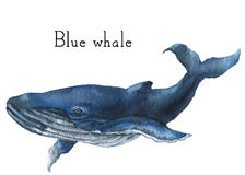 Waterverf blauwe vinvis Illustratie die op witte achtergrond wordt geïsoleerd= Voor ontwerp, drukken of achtergrond Stock Fotografie