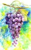 Waterverf coloful illustratie van fruitdruiven Royalty-vrije Stock Afbeeldingen