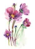 Waterverf - de bloemen van de Kosmos Stock Foto's