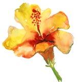 Waterverf gele hibiscus Royalty-vrije Stock Afbeeldingen