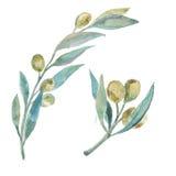 Waterverf groene olijven Olive Branches Stock Afbeeldingen