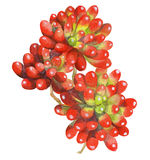 Waterverf het schilderen van de rode installatie van de geleiboon succulents Royalty-vrije Stock Fotografie