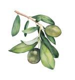 Waterverf het schilderen van groene olijftak Stock Afbeelding