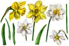Waterverf Narcissus Flower Elements op wit Royalty-vrije Stock Foto