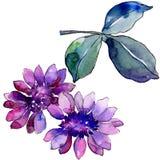 Waterverf purper Afrikaans madeliefje Bloemen botanische bloem Geïsoleerd illustratieelement stock illustratie