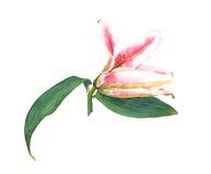 Waterverf roze lelie Royalty-vrije Stock Fotografie