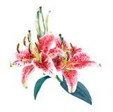 Waterverf roze lelies Royalty-vrije Stock Foto's