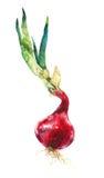 Waterverfbeeld van rode uien op wit Stock Fotografie