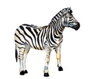 Waterverfbeeld van Zebra Stock Afbeelding