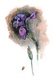 Waterverfhand geschilderde illustratie met alleen iris op donkere bac Royalty-vrije Stock Fotografie