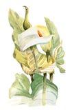 Waterverfhand geschilderde illustratie met callas in zachte toon Royalty-vrije Stock Afbeeldingen