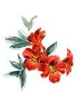 Waterverfhand geschilderde illustratie met rode petunia op witte achtergrond Stock Foto