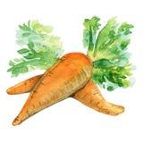 Waterverfhand getrokken geïsoleerde wortel Stock Afbeeldingen