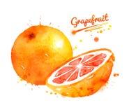 Waterverfillustratie van grapefruit royalty-vrije illustratie