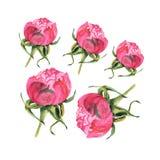 Waterverfillustratie van roze knop op wit Stock Foto's