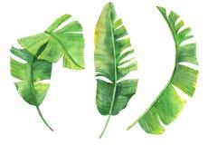 Waterverfillustratie van tropische bladeren Exotische installatie Natuurlijke druk Reeks banaanbladeren op witte achtergrond die  royalty-vrije illustratie