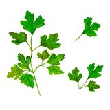 Waterverftakken en bladeren van peterselie Ecoproducten op witte achtergrond worden geïsoleerd die royalty-vrije illustratie