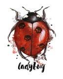 Waterverftekening van een insectonzelieveheersbeestje in een heluinthema met zwarte schedels op de rug met plonsen op een witte a Stock Fotografie