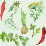 Waterverftekening van installaties groene koriander Geurig die Korianderkruiden, hand-drawn, op witte achtergrond, voor mooi word vector illustratie