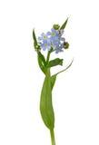 Watervergeet-mij-nietje (Myosotis scorpioides) Royalty-vrije Stock Foto