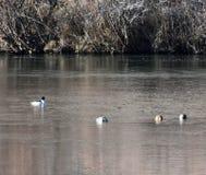 watervogels stock foto