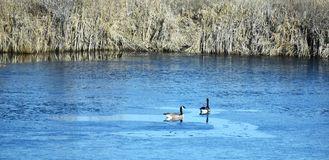 watervogels royalty-vrije stock fotografie