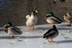 Watervogels in de Winter binnen Central Park Stock Foto
