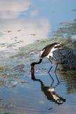 Watervogels die in water waden stock foto's