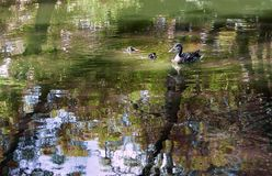 Watervogels Mammaeend en twee eendjes op het rivierenstapelbed Stock Foto