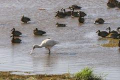 Watervogels in Meer Manyara royalty-vrije stock foto
