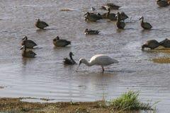 Watervogels in Meer Manyara royalty-vrije stock foto's