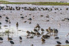 Watervogels in Meer Manyara stock afbeelding