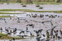 Watervogels in Meer Manyara royalty-vrije stock fotografie