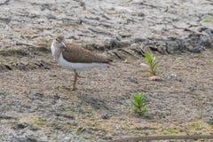 Watervogelstrandloper, Gemeenschappelijke hypoleucos van Strandloperactitis stock afbeeldingen