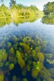 Waterwaaier; Carolina Water-shield; Cabomba caroliniana royalty free stock image