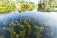 Waterwaaier; Carolina Water-shield; Cabomba caroliniana royalty free stock photo