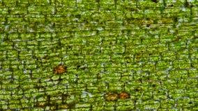 Waterweed komórki tkankowe Obrazy Royalty Free