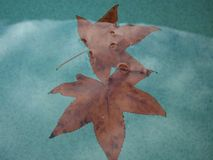 Watery autumn leaves. Fallen autumn leaves floating in the pool Stock Images