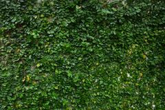 Watery creeping fig vine background. Green garden tree nature forest plant natural woods wallpaper stock images