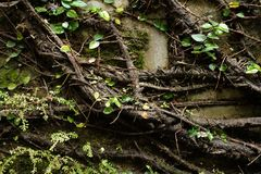 Horizontal close-up range creeping fig vine on the wall. Watery creeping fig vine garden tree nature forest plant natural woods wallpaper royalty free stock photo