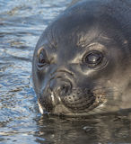 The watery eyes of a young Atlantic fur seal Stock Photo
