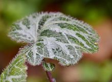 Watery leaf Royalty Free Stock Photos