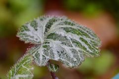 Watery leaf Royalty Free Stock Photography