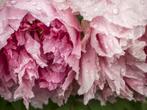 Watery Tree Peonies Royalty Free Stock Images