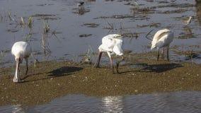 Wather Birds In Lake Manyara Royalty Free Stock Photo