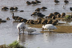Wather birds in Lake Manyara. African spoonbill Platalea alba and ducks in National Park Lake Manyara Conservation Area  , Tanzania . Africa Royalty Free Stock Image
