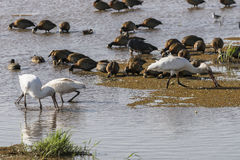 Wather birds in Lake Manyara. African spoonbill Platalea alba and ducks in National Park Lake Manyara Conservation Area  , Tanzania . Africa Royalty Free Stock Photos