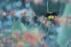 Wating for true love. Butterfly,Golden birdwings perching and waiting for someone special ,natural blurred background Stock Image